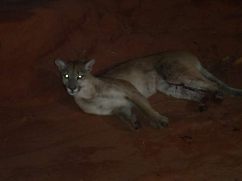 Os policiais encontraram o felino machucado às margens da rodovia. (Foto: divulgação)