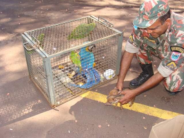 Os filhotes de queixada, de aproximadamente um mês e meio de idade, foram entregues pela proprietária de uma chácara