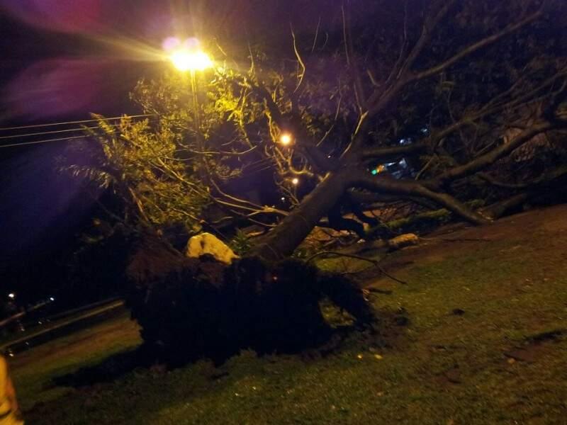 Ventos derrubaram árvore pela raiz. (Foto: Adriel Soares)