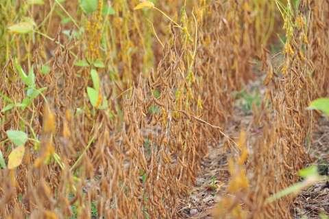 Clima ajuda e 15% da soja plantada já pode começar a ser colhida em MS