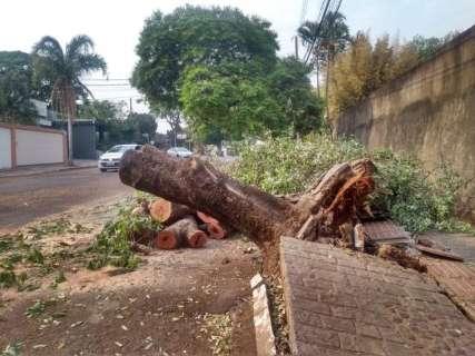 Sem ventania ou chuva, árvore cai e arrebenta calçada na Espírito Santo