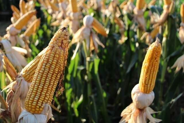 Produção de milho deve ser recorde na safra 2016/2017, com expectativa de 9,180 milhões de toneladas em MS. (Foto: Aprosoja/MS)