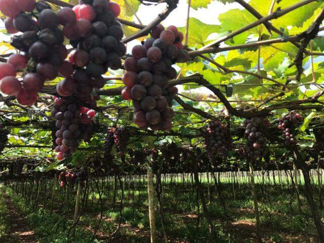 Uva produzida em propriedade de Campo Grande (Foto: Divulgação)