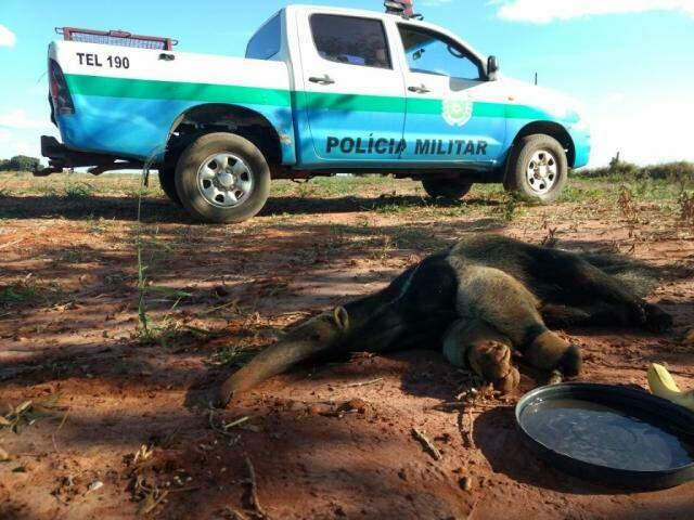 O animal nem ofereceu resistência à captura, de tão debilitado. (Foto: Divulgação)