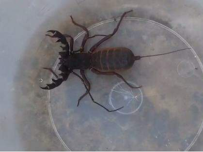 Escorpião capturado por morador (foto Direto das Ruas)