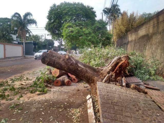 Testemunhas afirmam que por pouco árvore não atingiu veículos no momento da queda (Foto: Tainá Jara)