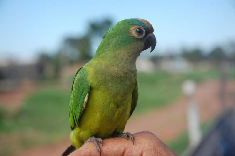 O papagaio por interagir e imitar a fala humana é a espécie mais procurada no Estado pelos traficantes. (Foto: Marcos Ermínio)