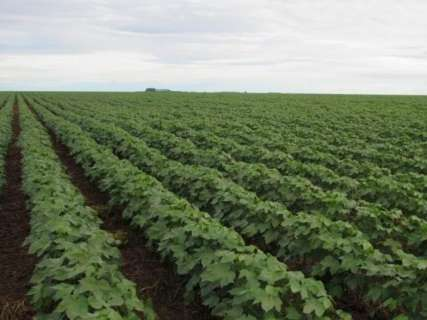 Definidos prazos para vazio sanitário do algodão em Mato Grosso do Sul