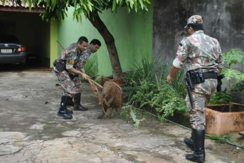 Duas capivaras são resgatadas após invadirem residências em Dourados