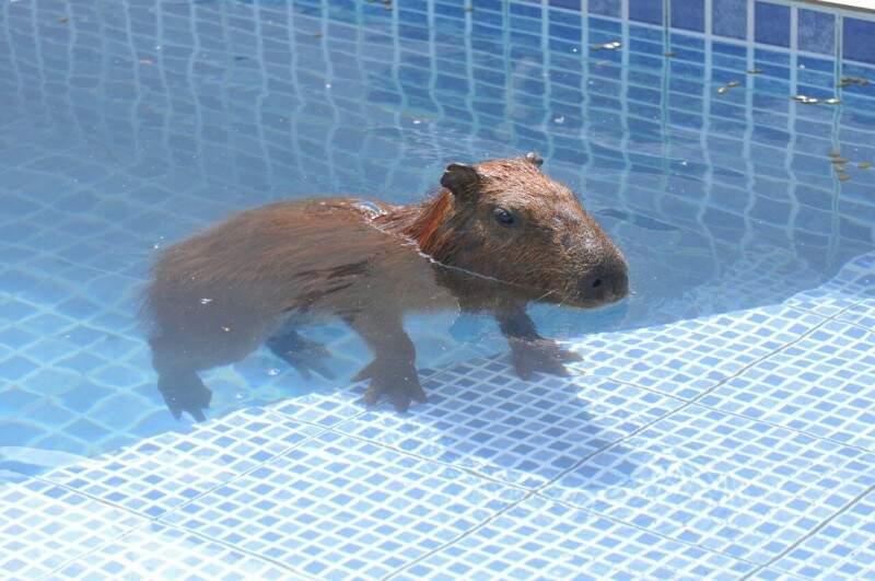 "Capivara permanece ""folgada"" na piscina (Foto: Alcides Neto)"