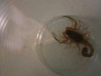 Paciente é quase picada por escorpião enquanto aguarda atendimento no HR