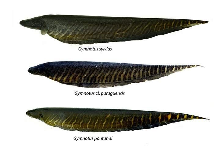 As três espécies de Tuvira utilizadas pelos ribeirinhos do pantanal