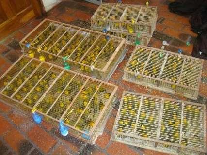 Comerciante é preso por transportar irregularmente 280 canários peruanos