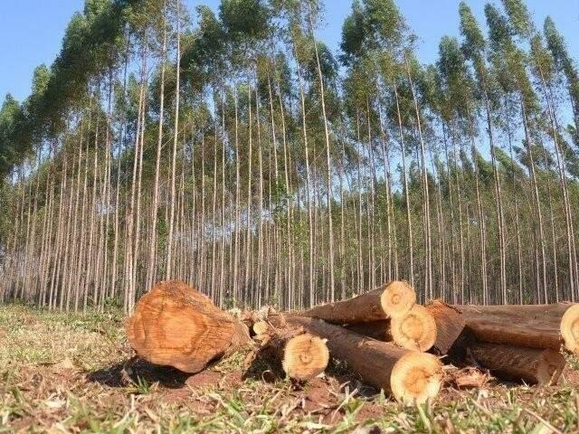Plantação de eucalipto em Mato Grosso do Sul, a matéria prima do setor de celulose (Foto: Arquivo/Campo Grande News)