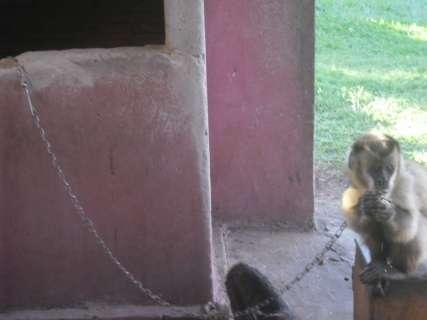Polícia ambiental encontra macaco-prego amarrado em corrente
