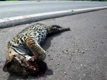 Jaguatirica que fugiu de cheia no Pantanal é atropelada