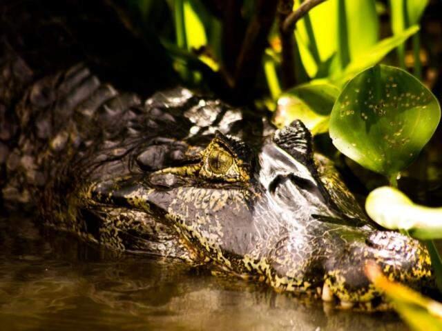 Jacaré nas águas do Pantanal sul-mato-grossense (Foto: Henrique Arakaki)
