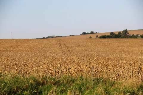 Colheita do milho chega a 71% de MS, mas foi concluída em três cidades