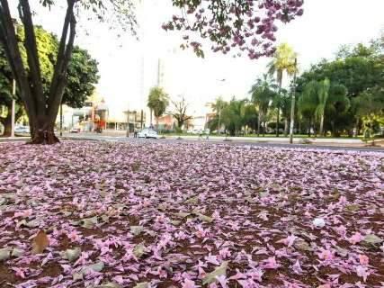 Inverno e tempo seco trazem beleza rosa com floradas de ipês