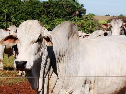 Preço do boi gordo em MS tem queda para o menor patamar desde 2014