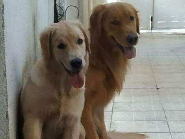 Os animais são da raça Golden Retriever e atendem aos nomes de Breck e Beline (Foto: Arquivo Pessoal)