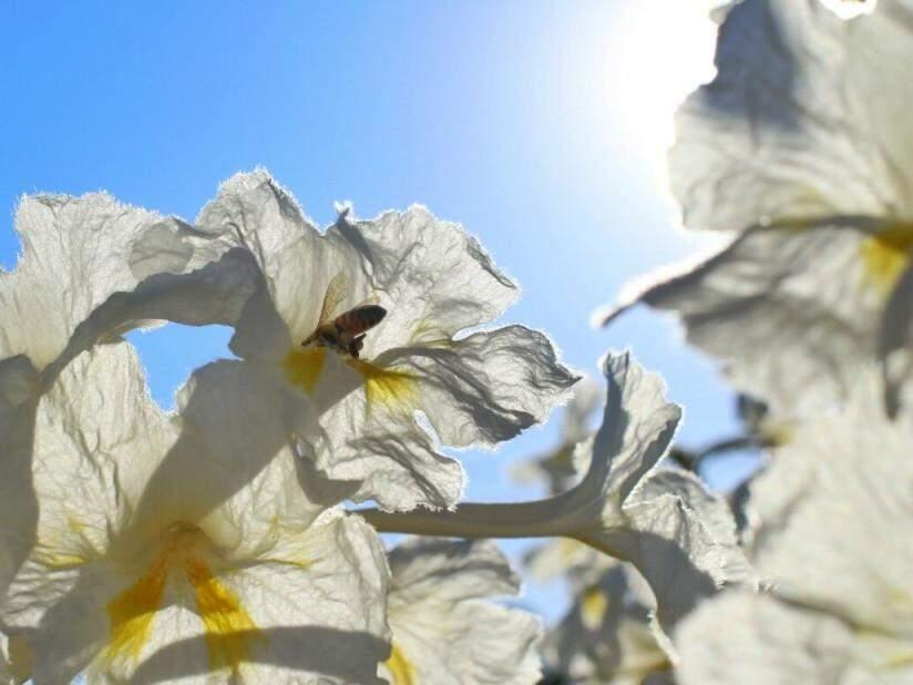 Abelha é fotografada em flor de ipê no primeiro dia da Primavera (22). (Foto: André Bittar)