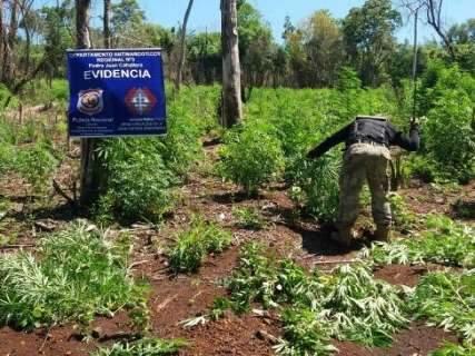 Paraguai destrói 12 hectares de lavouras de maconha na fronteira com MS