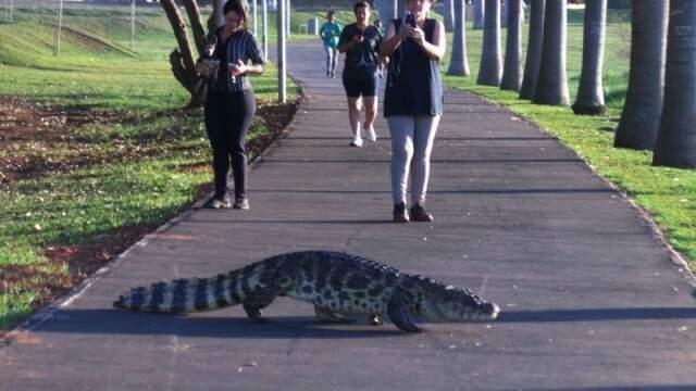 Jacaré foi flagrado atravessando a pista de caminhada da Lagoa Maior. (Foto: Ricardo Ojeda)