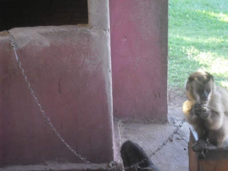 Policiais encontraram animal amarrado a uma corrente. Animal foi encaminhado ao CRAS. (Foto: PMA/Divulgação)