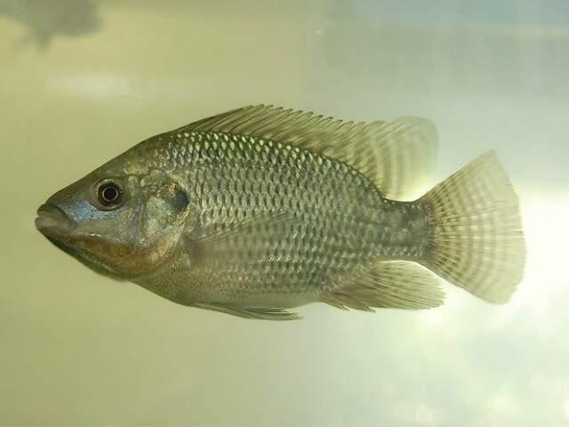 Fatores que tornaram a tilápia o peixe mais cultivado do país foram o clima favorável, a rusticidade da espécie (Foto: MAPA / divulgação)