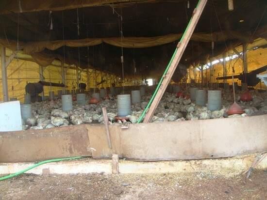 Na granja irregular, aves mortas serviam de alimento para porcos. (Foto: Divulgação)