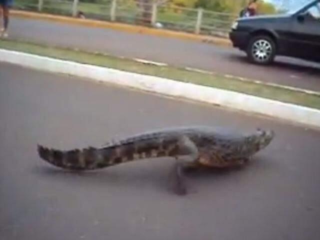 Jacaré atravessando a rua. (Foto: Reprodução)