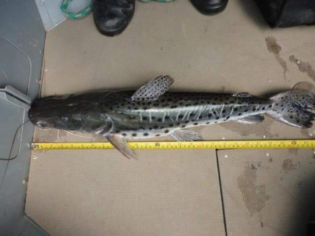 Dos nove pescadores multados, todos pescaram espécies fora da medida permitida. (Foto: Divulgação/PMA)