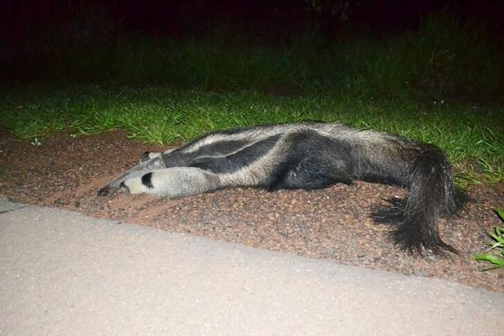 O tamanduá-bandeira, que está na lista de animais em extinção, acabou morrendo. (Foto: Maikon Leal)