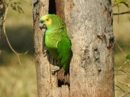 Especialistas alertam para venda ilegal de papagaios neste Natal em MS