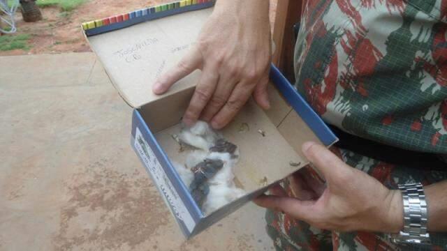 Chuva derruba ninho de canários, morador recolhe filhotes e entrega à PMA
