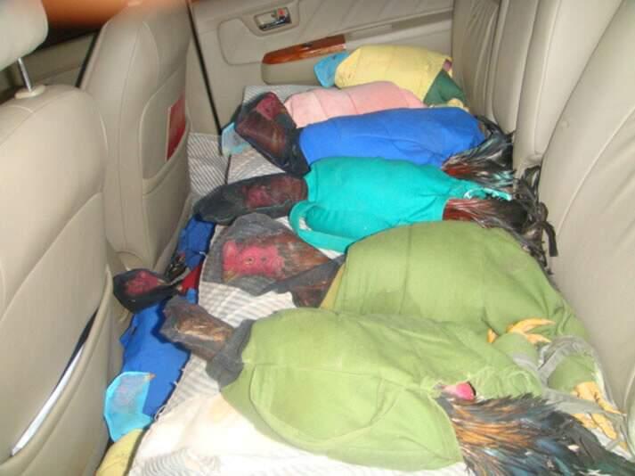 Galos eram transportados com capas em caminhonete. Fotos: Divulgação