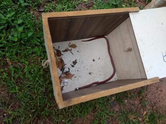 """Cobra """"falsa"""" coral capturada em caixa (Foto: Divulgação)"""