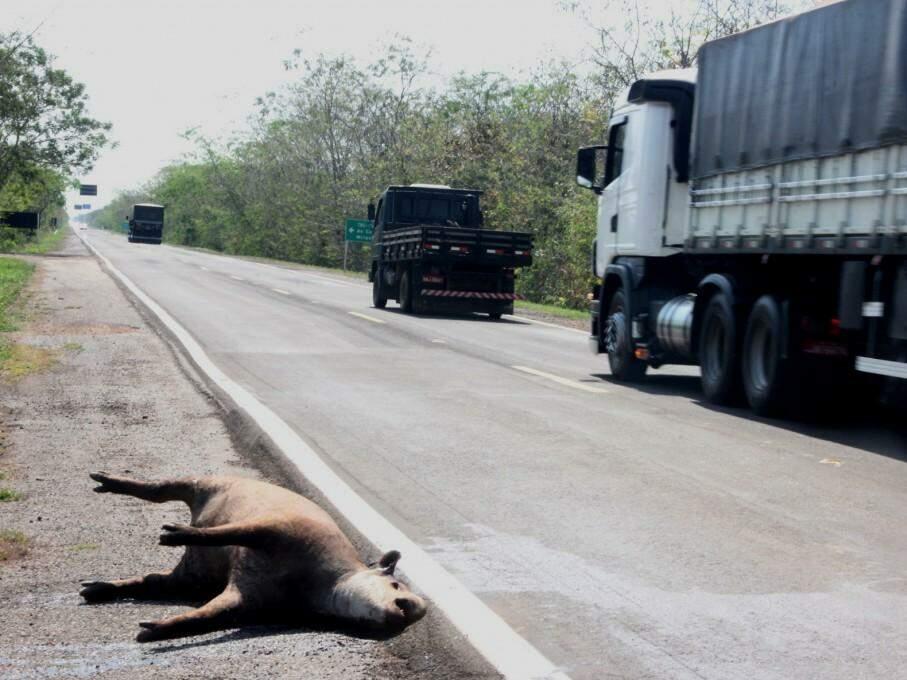 Anta morta na região do Buraco da Piranha, em Corumbá. (Foto: Silvio Andrade)