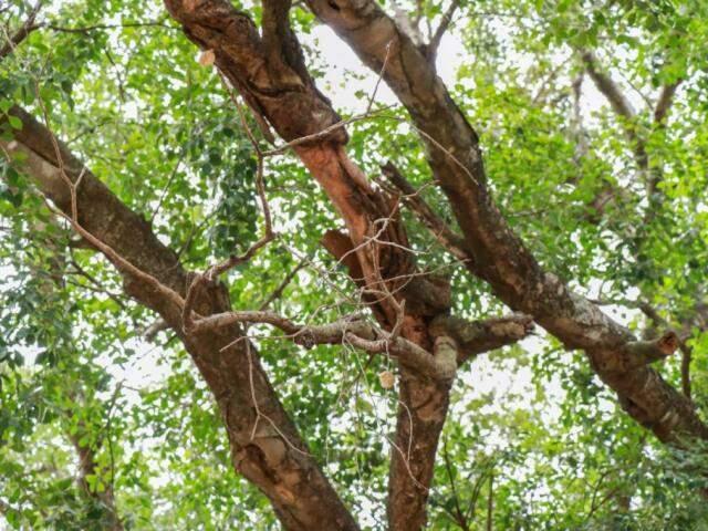 As folhas dos galhos continuam vivas (Foto: Henrique Kawaminami)