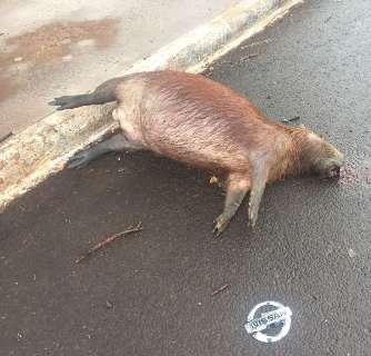 Capivara morre atropelada em avenida onde motoristas abusam da velocidade