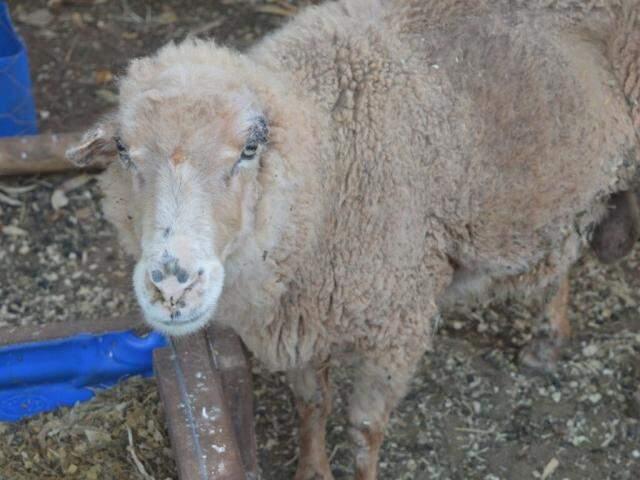 Guaxo, carneiro com sequelas da intoxicação por brachiaria. (Foto: Chloé Pinheiro)