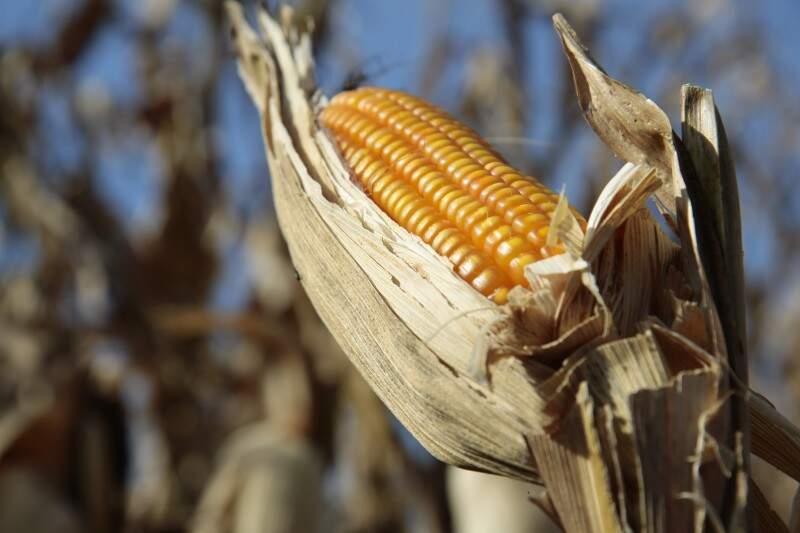 Valor da produção de milho chegou a R$ 2 bilhões, em 2014 (Foto: Cleber Gellio)