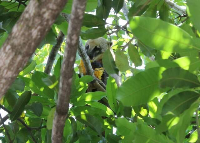 Animal saboreaia fruto na copa de mangueira no estacionamento da Assembleia.
