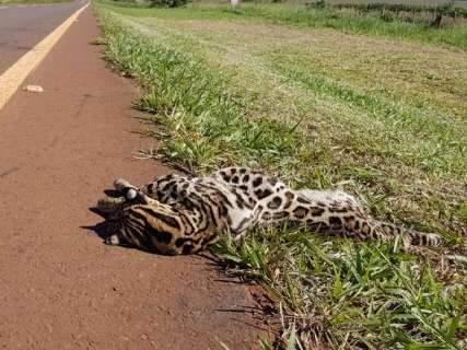 Jaguatirica é encontrada morta nas margens da rodovia BR-060