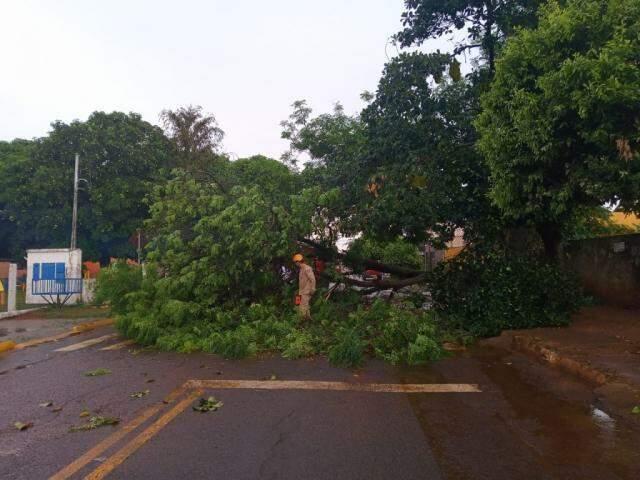 Árvore de aproximadamente seis metros caída em rua da Vila Cidade Morena (Foto: Maressa Mendonça)