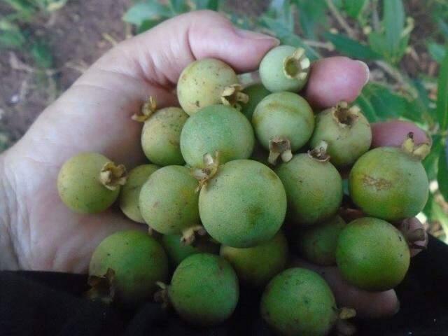 """Punhado de guaviras de uma das """"expedições"""" na busca pela fruta. (Foto: Reprodução Facebook)"""