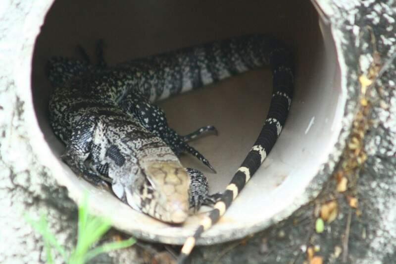 Após atrair a atenção de usuários do transporte coletivo, animal se escondeu em um cano (Foto: Marcos Ermínio)