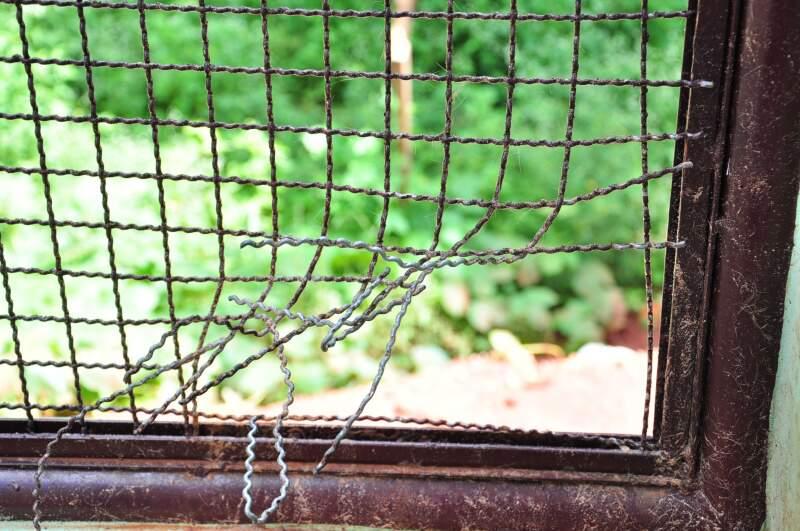 Animal cortou a jaula do Cras e escapou novamente. Foto: João Garrigó