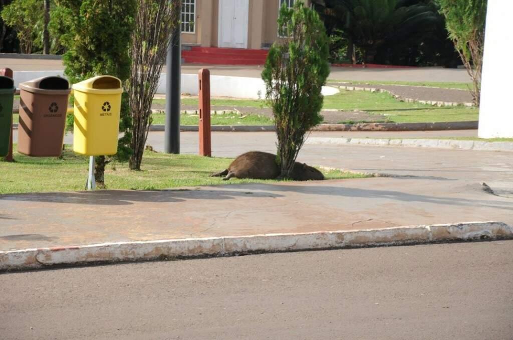 Pouco metros depois, outra capivara morta estava no jardim da Cidade do Natal (Foto: Paulo Francis)